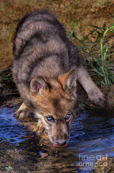 Photograph - Gray Wolf Pup Endangered Species Wildlife Rescue by Dave Welling