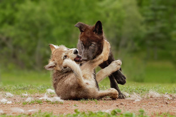 Wall Art - Photograph - Gray Wolf Pups Wrestling, Canis Lupus by Adam Jones