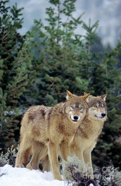 Photograph - Gray Wolves In A Montana Winter  by Dave Welling