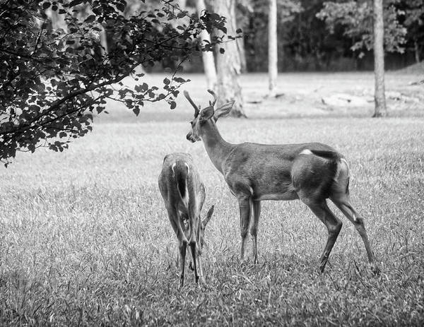 Wall Art - Photograph - Grazing Buck And Doe Monochrome by Laura Vilandre