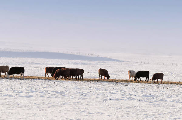 Domestic Cattle Photograph - Grazing Cattle In Winter In Alberta by Brytta