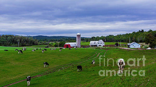 Photograph - Grazing Cows. by New England Photography
