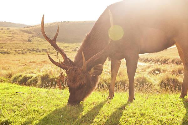 Grazing Photograph - Grazing Deer by Flash Parker