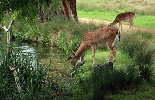 Grazing Photograph - Grazing Deer by Vphotographyandart