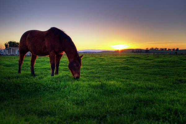 Livermore Wall Art - Photograph - Grazing Horse by Copyright (c) Richard Susanto