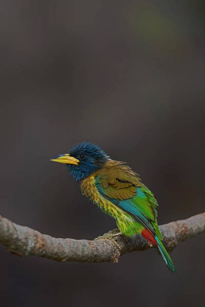 Nature Wall Art - Photograph - Great Barbet by Uma Ganesh