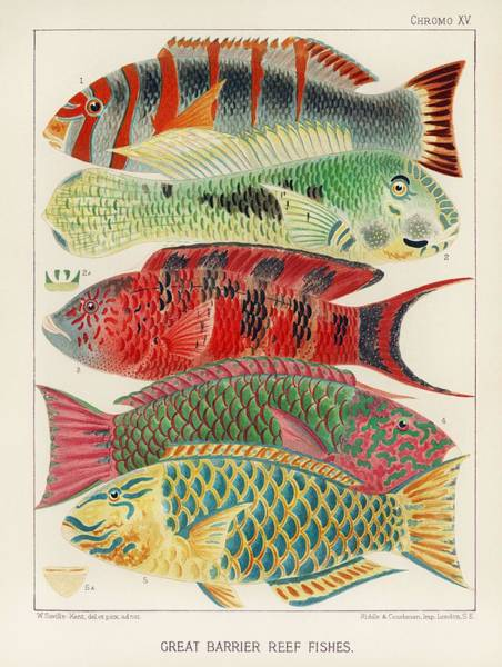 Painting - Great Barrier Reef Fishes From The Great Barrier Reef Of Australia  1893 By William Saville-kent  1 by William Saville-Kent