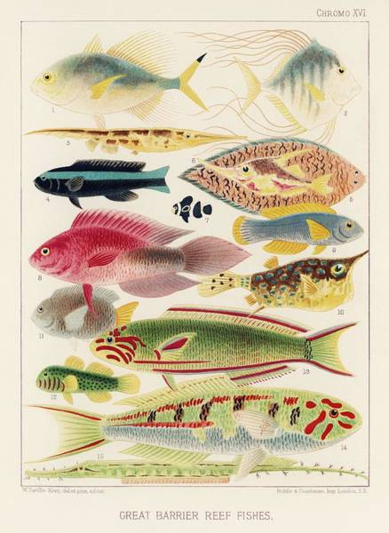 Wall Art - Painting - Great Barrier Reef Fishes From The Great Barrier Reef Of Australia 1893 By William Saville-kent  by William Saville-Kent