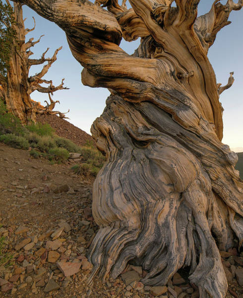 Photograph - Great Basin Bristlecone Pines, Inyo by
