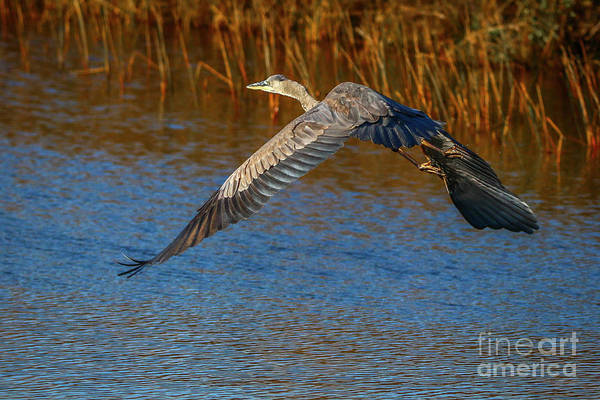 Photograph - Great Blue Fly Away by Tom Claud