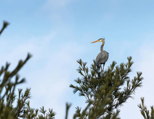 Photograph - Great Blue Heron 2019-1 by Thomas Young