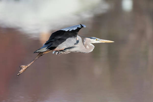 Photograph - Great Blue Heron 2019-11 by Thomas Young