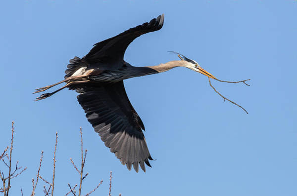 Photograph - Great Blue Heron 2019-4 by Thomas Young