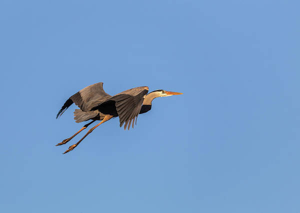 Photograph - Great Blue Heron 2019-8 by Thomas Young