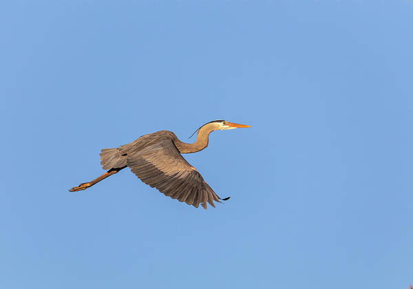 Photograph - Great Blue Heron 2019-9 by Thomas Young