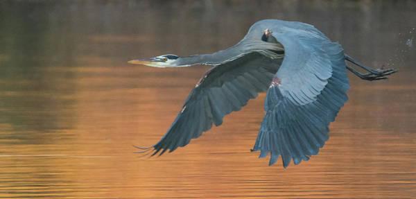 Photograph - Great Blue Heron 2487-012219 by Tam Ryan