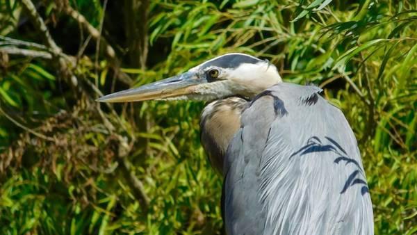 Photograph - Great Blue Heron 3 by Dan Miller