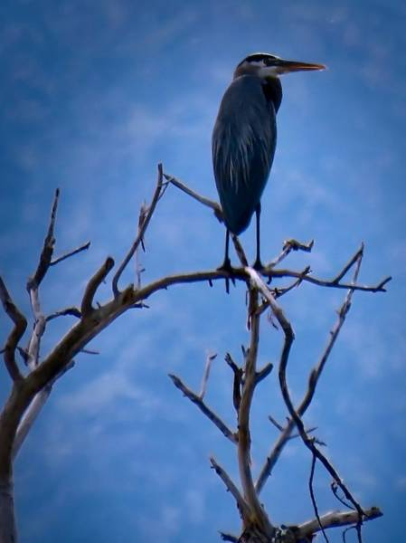 Photograph - Great Blue Heron 3 by Judy Kennedy