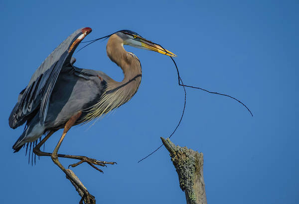 Photograph - Great Blue Heron 4034 by Donald Brown