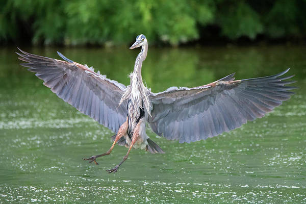 Photograph - Great Blue Heron 6451-061319 by Tam Ryan