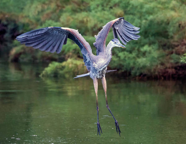 Photograph - Great Blue Heron 7766-061719 by Tam Ryan