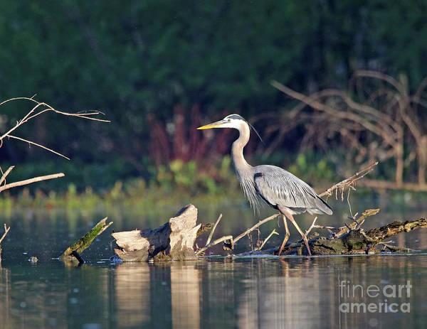 Wall Art - Photograph - Great Blue Heron 9 by Steve Gass