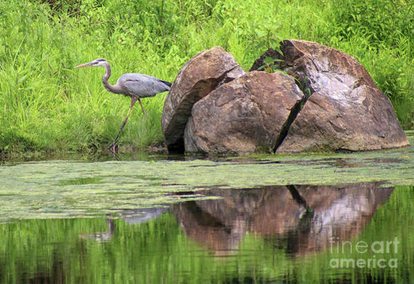 Photograph - Great Blue Heron And Boulder by Karen Adams