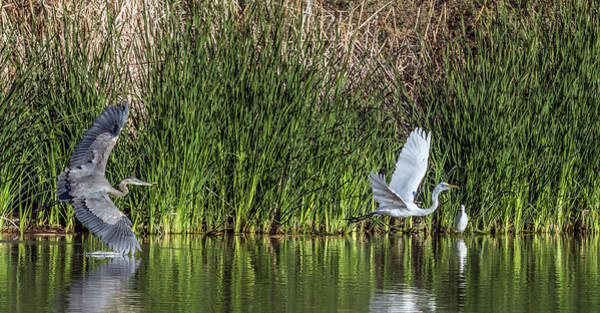 Photograph - Great Blue Heron And Great Egret Chase 9004-122918-1 by Tam Ryan