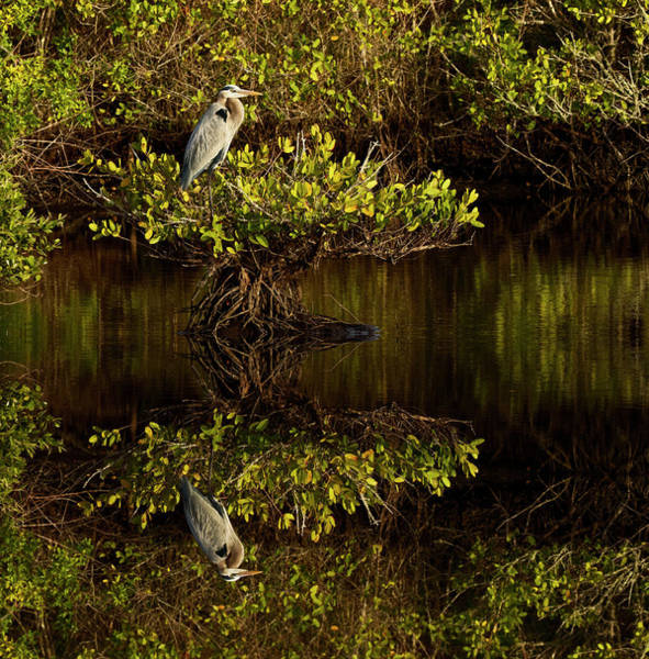 Wall Art - Photograph - Great Blue Heron And Reflection, Ardea by Adam Jones