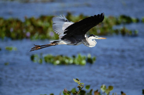 The Great Outdoors Photograph - Great Blue Heron Ardea Herodias In by Art Wolfe