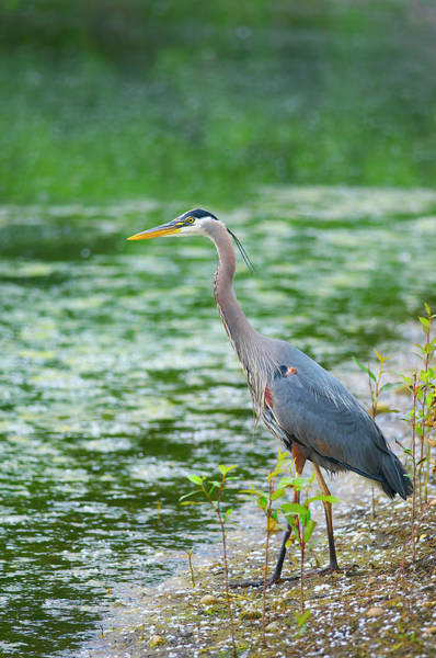 Photograph - Great Blue Heron By The Waters Edge by Sharon Talson