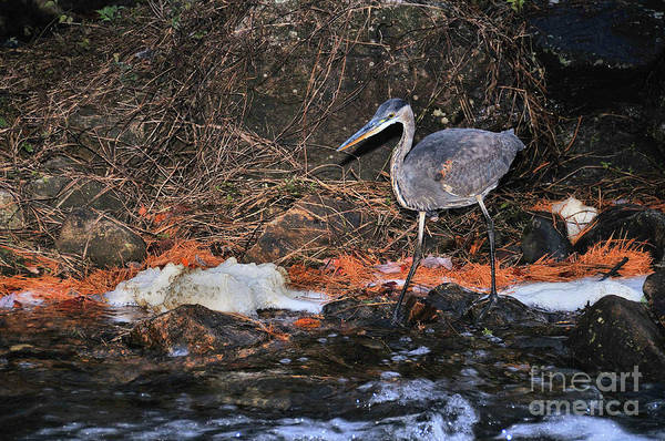 Photograph - Great Blue Heron by Debbie Stahre