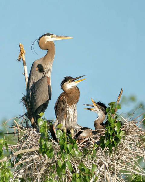 Photograph - Great Blue Heron Family In The Nest by Judi Dressler