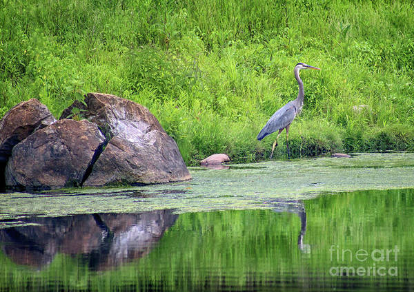 Photograph - Great Blue Heron Fishing by Karen Adams