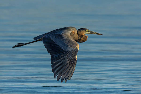 Photograph - Great Blue Heron Flying by Rick Mosher