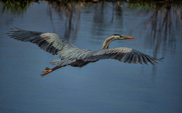 Photograph - Great Blue Heron Gliding by Dale Kauzlaric