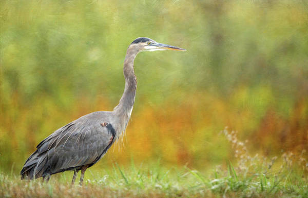 Wall Art - Photograph - Great Blue Heron In Autumn by Angie Vogel