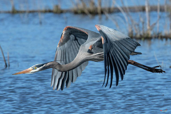 Photograph - Great Blue Heron In Flight Dmsb0151 by Gerry Gantt