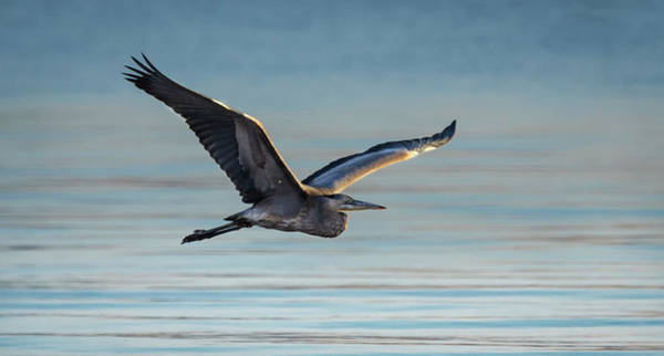 Photograph - Great Blue Heron In Flight by Rick Mosher