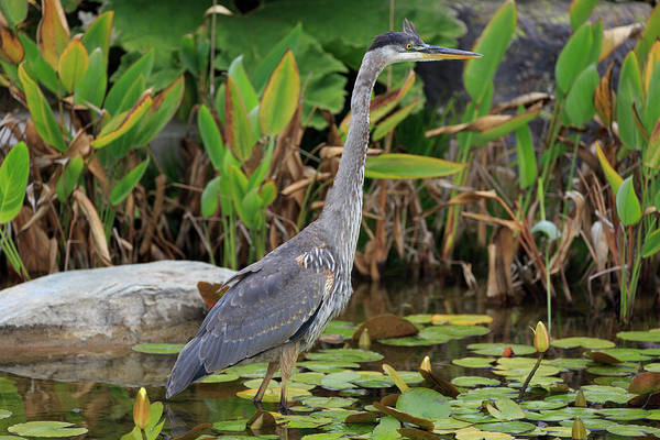 The Great Outdoors Photograph - Great Blue Heron In Golden Gate Park by Richard Cummins