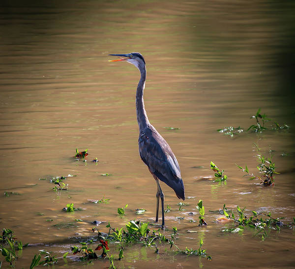 Wall Art - Photograph - Great Blue Heron In The Heat by Lora J Wilson