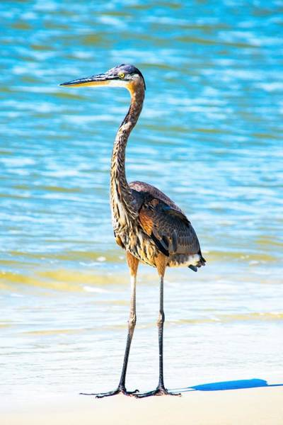 Wall Art - Photograph - Great Blue Heron In The Surf by Mary Ann Artz