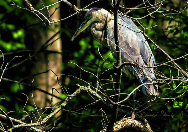 Photograph - Great Blue Heron In The Tree by Edward Peterson