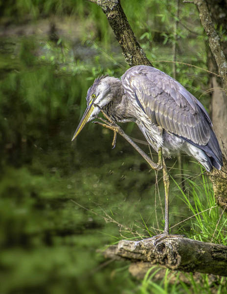 Photograph - Great Blue Heron Itch by Donald Brown