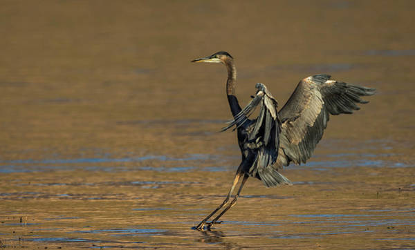 Photograph - Great Blue Heron Landing by Rick Mosher