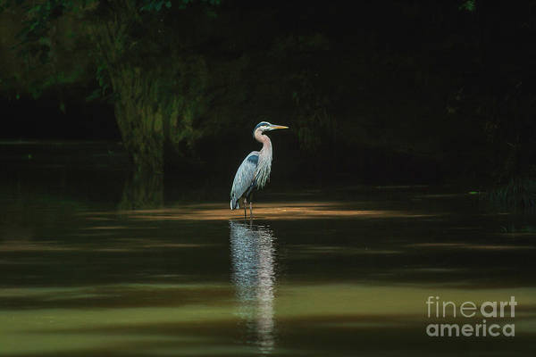 Wall Art - Photograph - Great Blue Heron by Lena Auxier