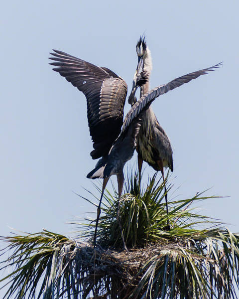 Photograph - Great Blue Heron Mating Display IIi by Dawn Currie