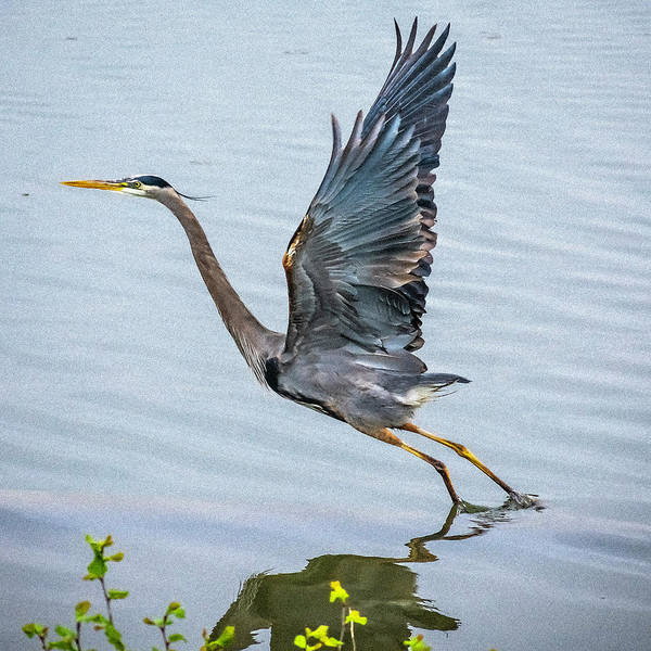 Wall Art - Digital Art - Great Blue Heron Out Of Water by Curt Capps