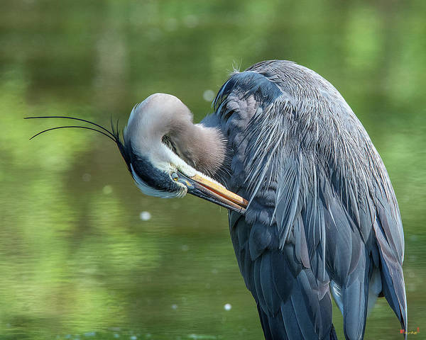 Photograph - Great Blue Heron Preening Dmsb0157 by Gerry Gantt