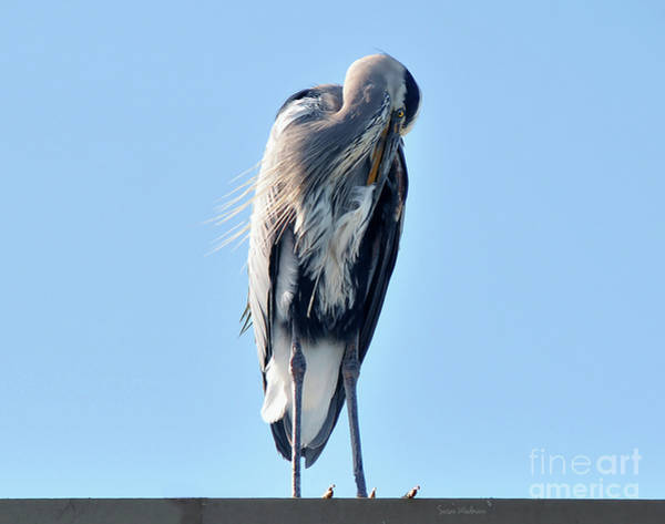 Photograph - Great Blue Heron Preening On A Roof by Susan Wiedmann